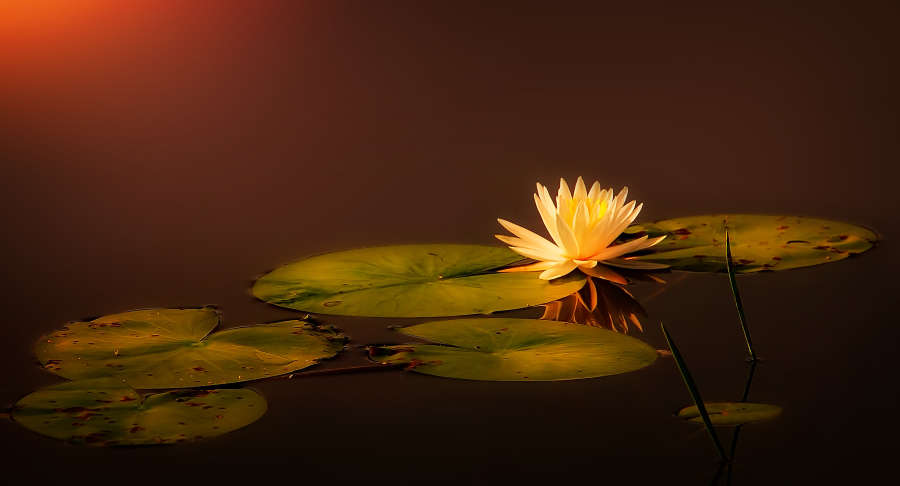 The Light in the Lily Pond