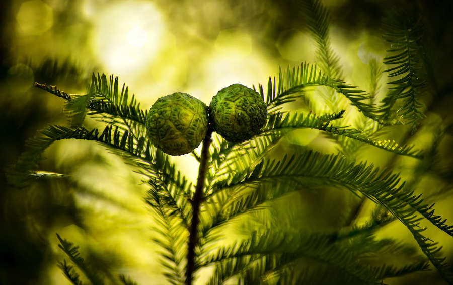 A Kind of Fir Tree