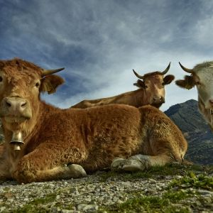 The Genial Cows