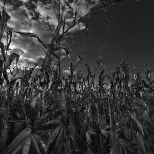 Sani Corn Fields B&W