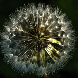 Morning Light & Dandelion