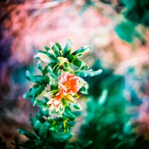 Pomegranate flower with KODAK EPP