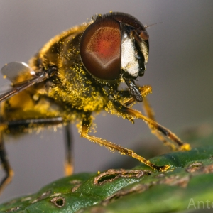 Hover Fly Covered In Pollen
