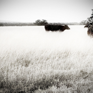 Cows enjoying Infrared grass