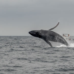 Whale watching off the coast of Ecuador